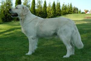 golden_retriever_6